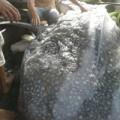 Tin tức - Xuất hiện loài cá mập lớn nhất TG ở Nghệ An