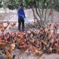 Mua sắm - Giá cả - Loạn giống gà ở Yên Thế