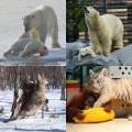 Tin tức - Ảnh động vật: Đại bàng tấn công nai rừng