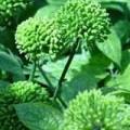 Sức khỏe - Hoa tam thất - Vị thuốc hạ huyết áp