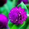 Tin tức - Ngắm vẻ đẹp dịu dàng hoa Bách nhật giữa lòng HN