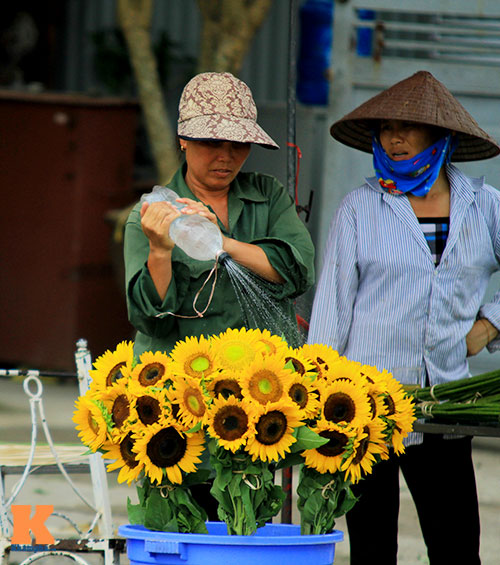 hoa huong duong khoe sac ruc ro giua ha noi - 13