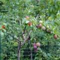 Tin tức - Kỳ lạ cây cho ra 40 loại quả khác nhau