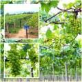 Nhà đẹp - Vườn nho đón khách miễn phí của lão nông Ninh Thuận