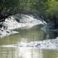 Tin tức - Ấn Độ: Đi bắt cua, một phụ nữ bị hổ vồ, tha vào rừng