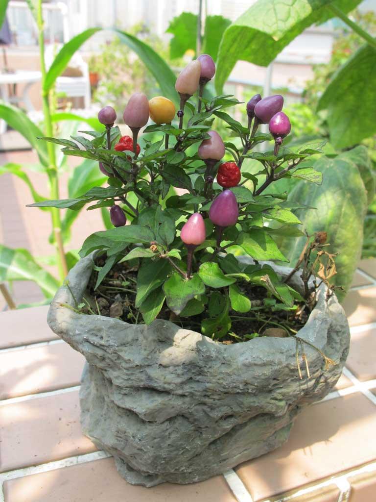 Vườn rau sân thượng của mẹ chồng Tina-7