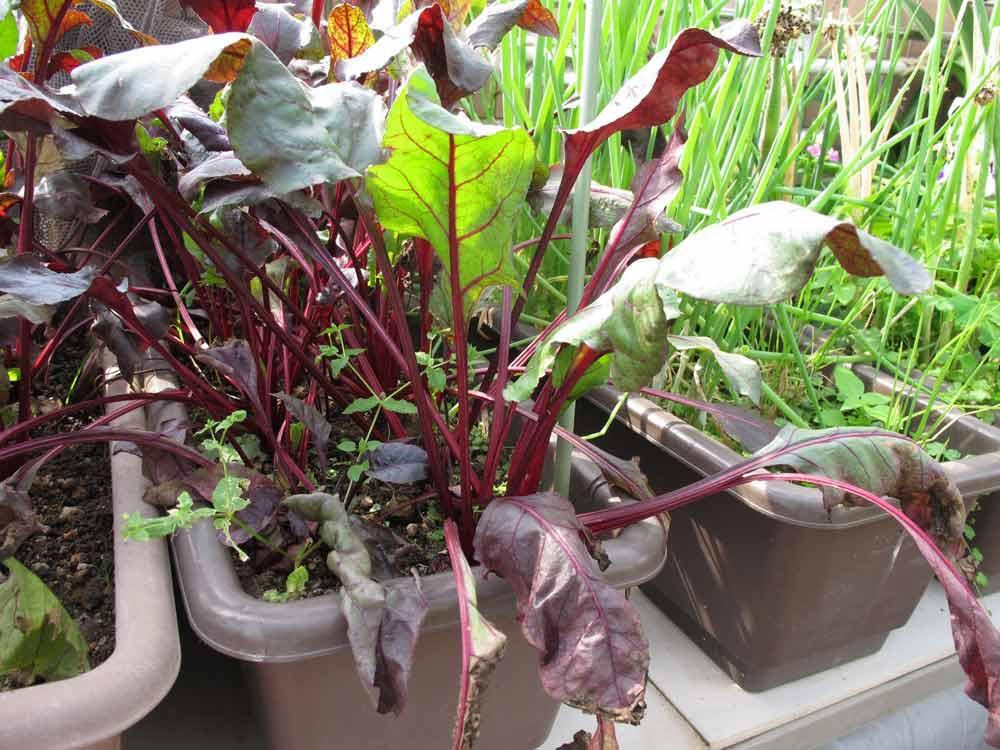 Vườn rau sân thượng của mẹ chồng Tina-11