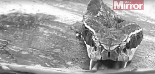 Kỳ dị: Đầu lâu rắn hổ mang cắn chết một đầu bếp TQ-2