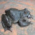 """Tin tức - Săn """"ếch đại gia"""" ở vùng Thánh địa Mẫu Sơn"""