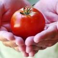 Sức khỏe - Khả năng chữa ung thư kỳ diệu của cà chua