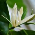 Sức khỏe - Bài thuốc từ hoa ngọc lan
