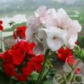 Nhà đẹp - Mê mẩn ban công rực rỡ hoa ở Phùng Khoang