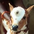 Tin tức - Lạ lùng chú bê 3 mắt được tôn thờ ở Ấn Độ
