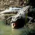 Tin tức - Thái Lan: Lao vào hồ nuôi 1000 con cá sấu để tự tử