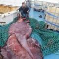 Tin tức - Mổ xẻ con mực khổng lồ kỳ lạ nặng 350 kg