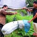 Tin tức - Quả bí khổng lồ nặng tới 87kg