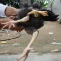 Tin tức - Hiếu kỳ kéo nhau đi xem gà 4 chân ở Hà Tĩnh