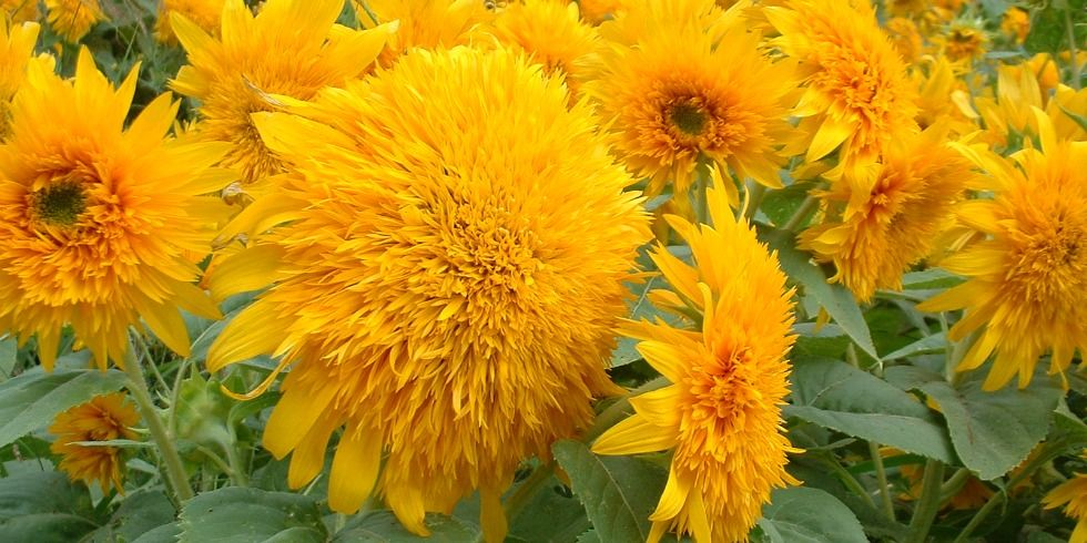 9 bí mật hay ho ít người biết về hoa hướng dương - 6
