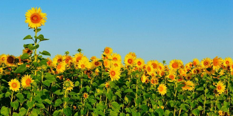 9 bí mật hay ho ít người biết về hoa hướng dương - 8