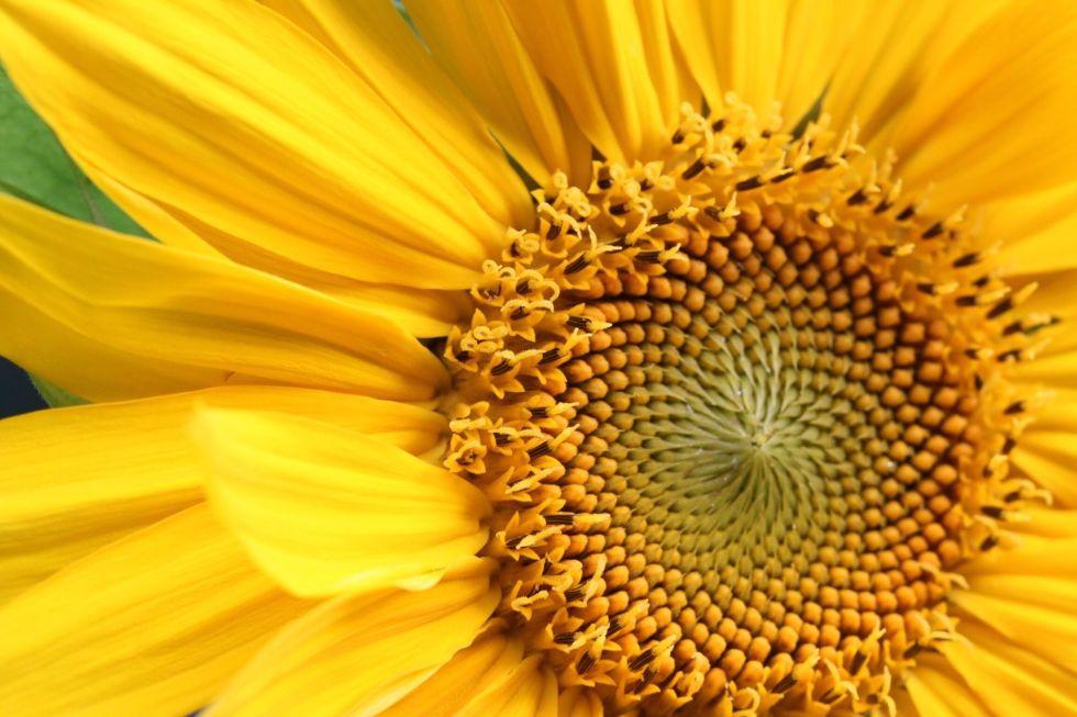 9 bí mật hay ho ít người biết về hoa hướng dương - 1