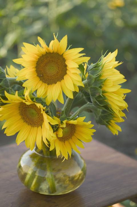 9 bí mật hay ho ít người biết về hoa hướng dương - 2