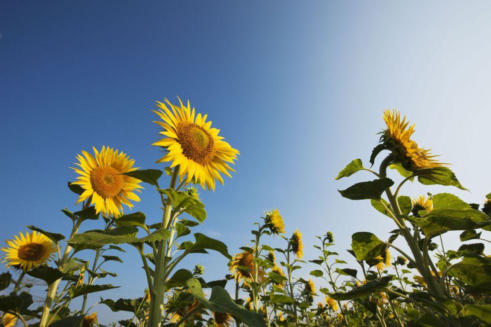 9 bí mật hay ho ít người biết về hoa hướng dương - 7