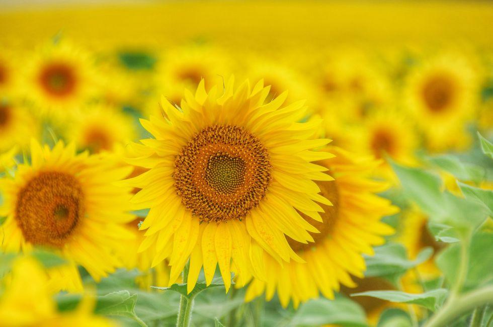 9 bí mật hay ho ít người biết về hoa hướng dương - 9