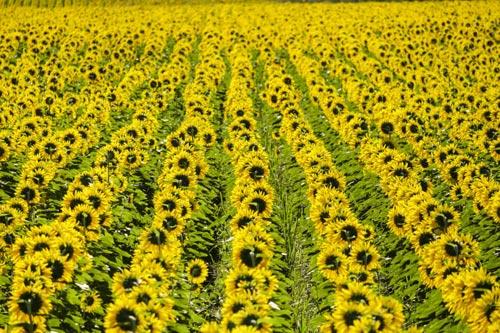 9 bí mật hay ho ít người biết về hoa hướng dương - 3
