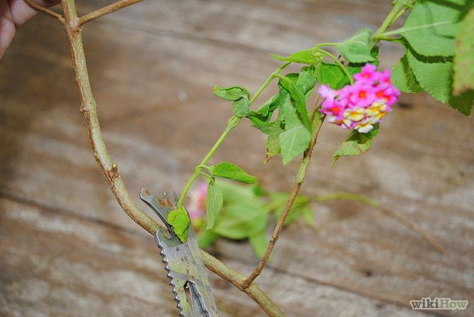 Các bước trồng cây tại nhà theo phương pháp giâm cành - 2