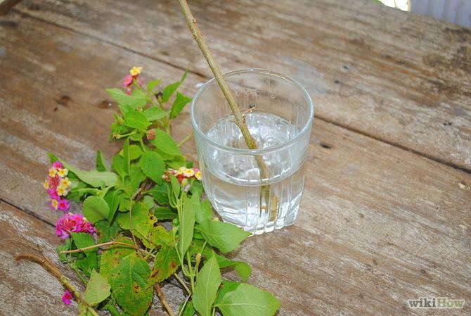 Các bước trồng cây tại nhà theo phương pháp giâm cành - 3