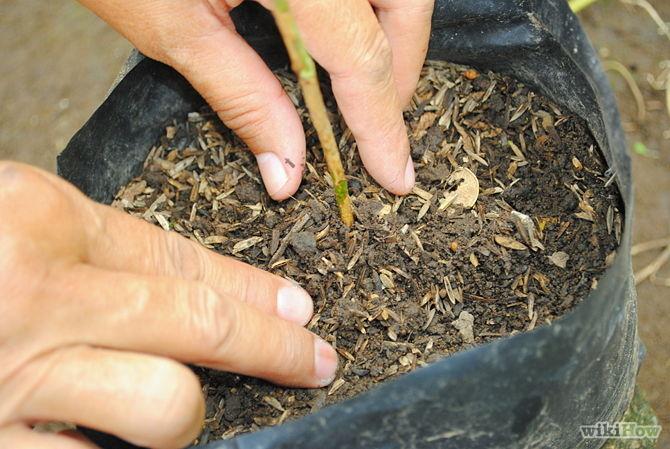 Các bước trồng cây tại nhà theo phương pháp giâm cành - 5