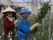 Mua sắm - Giá cả - Hoa cúc tăng giá mạnh, nông dân Đà Lạt trúng lớn