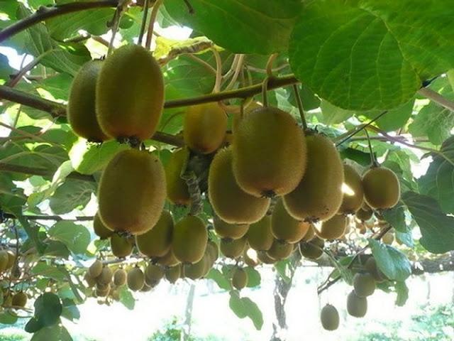 trong kiwi trong chau: mat nha ma suong mieng - 13