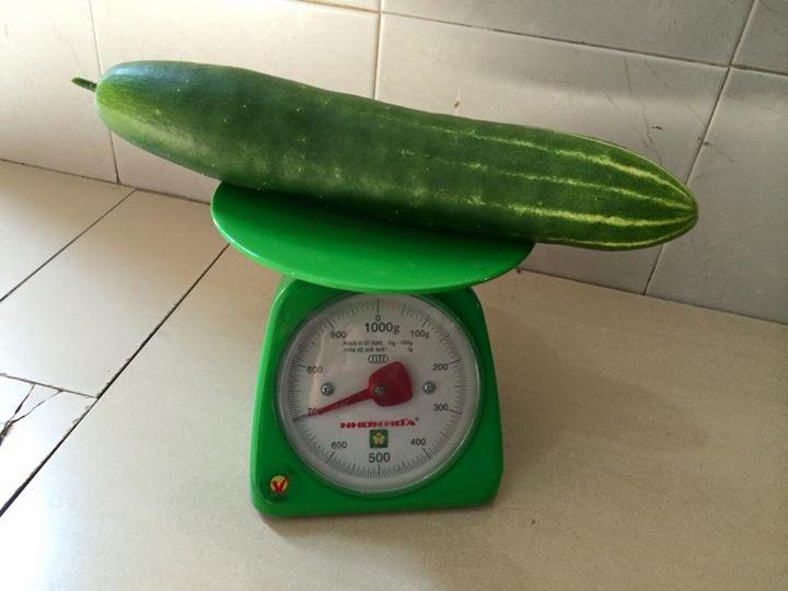 vuon ban cong 1.5m2 cho rau mon mon, dua chuot 0.7 kg - 17