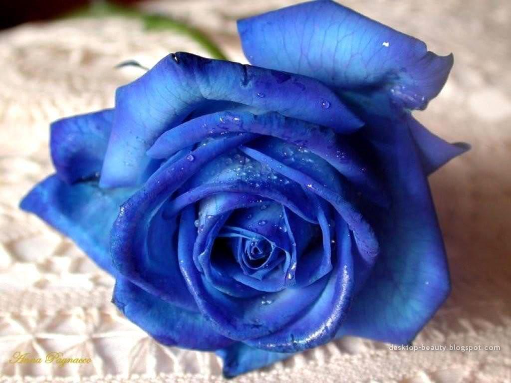 8 tieng 'trong' ra hoa hong xanh dep mat - 1