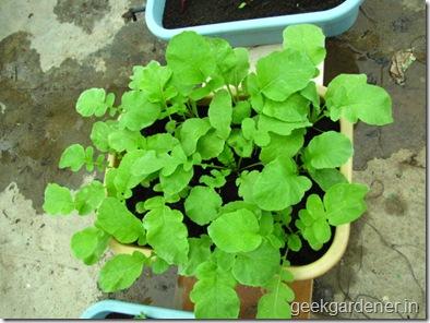 Củ cải đỏ trồng chậu trong 1 tháng cho bé tha hồ ăn-5