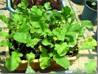 Củ cải đỏ trồng chậu trong 1 tháng cho bé tha hồ ăn-6