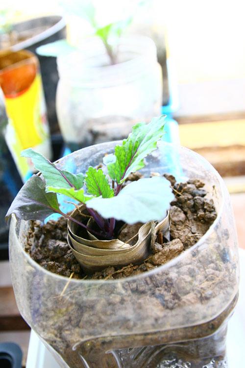 Củ cải đỏ trồng chậu trong 1 tháng cho bé tha hồ ăn-3