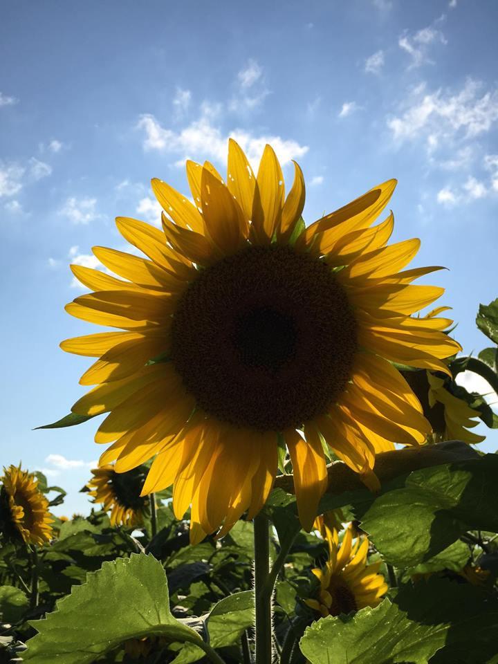 Ông lão trồng 6km hoa hướng dương để tưởng nhớ vợ quá cố-4