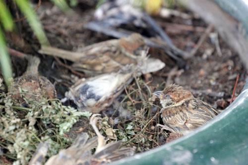 cai chet bi thuong cua chim phong sinh mua vu lan - 7