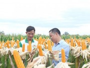Mua sắm - Giá cả - Nông dân Việt 'mê' bắp biến đổi gen