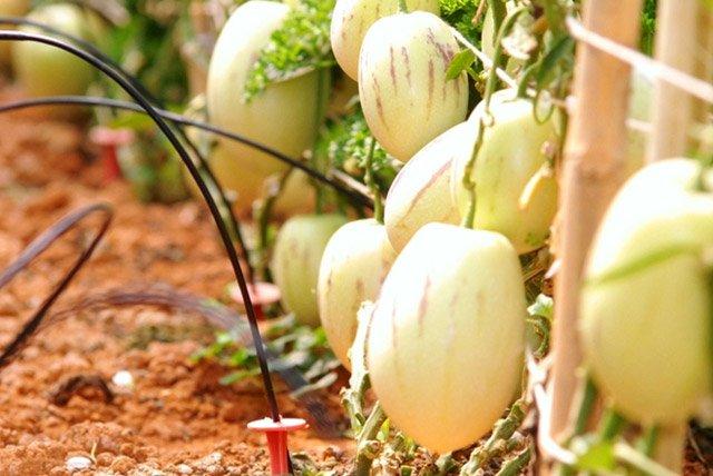 Điểm mặt 6 loại rau quả độc, lạ xứ Đà Lạt-5