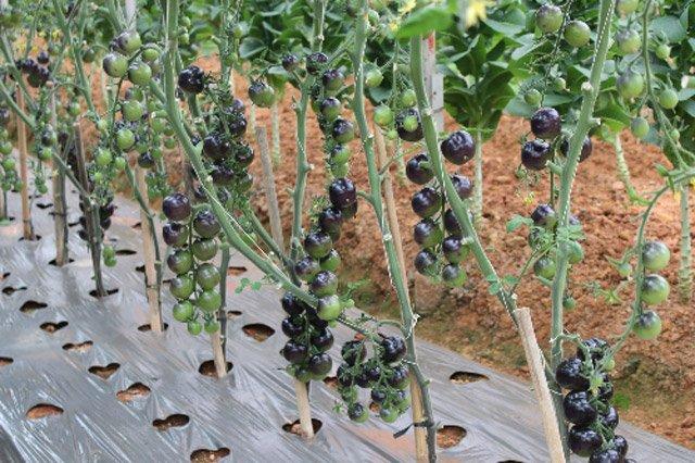 Điểm mặt 6 loại rau quả độc, lạ xứ Đà Lạt-6
