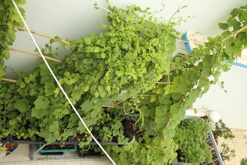 Vườn rau đủ 15 người ăn của hot girl Sài thành-5