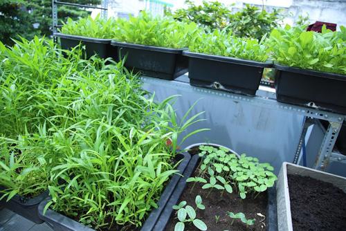 Vườn rau đủ 15 người ăn của hot girl Sài thành-8