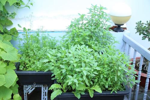 Vườn rau đủ 15 người ăn của hot girl Sài thành-11
