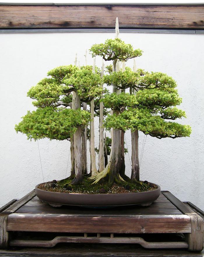 15 cay bonsai sieu doc 'co tien mua cung chang duoc' - 9