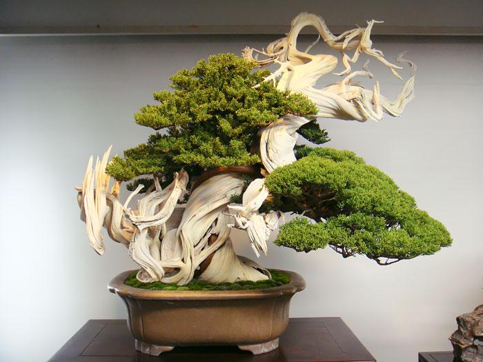 15 cay bonsai sieu doc 'co tien mua cung chang duoc' - 11