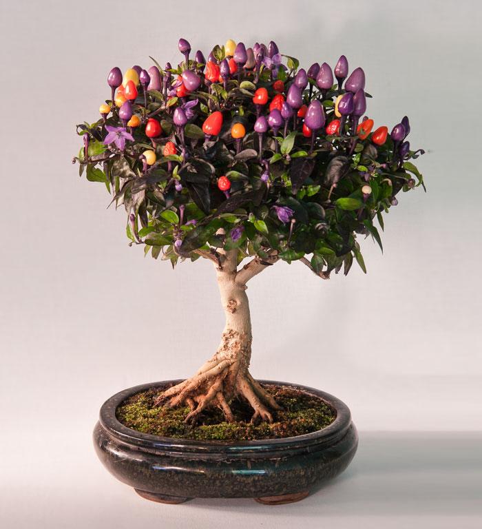 15 cay bonsai sieu doc 'co tien mua cung chang duoc' - 13