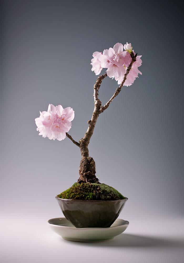 15 cay bonsai sieu doc 'co tien mua cung chang duoc' - 4